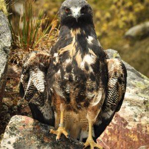 Liberación águila de páramo