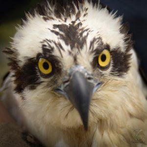 Liberación Aguila Pescadora (Phandion haliaetus)