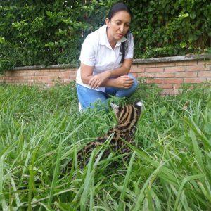 Leopardus pardalis 3