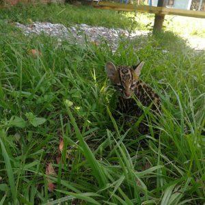 Leopardus pardalis 2
