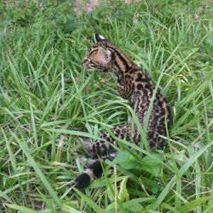 Leopardus pardalis 1