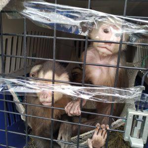 11 ejemplares de Fauna Silvestre regresarán a la libertad 3