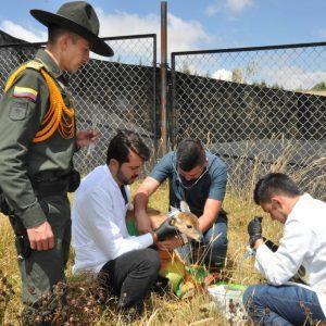 Corpoboyacá y Policía Ambiental rescatan cría de venado cola blanca 5