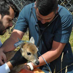 Corpoboyacá y Policía Ambiental rescatan cría de venado cola blanca 4