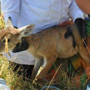 Corpoboyacá y Policía Ambiental rescatan cría de venado cola blanca 3