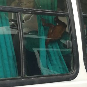 Fue recuperado un mono que era movilizado en transporte intermunicipal