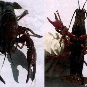 Foto Circular externa 49 – Aviso presencia y dispersión de la especie exótica Procambarus clarkii (Cangrejo o Langosta roja)