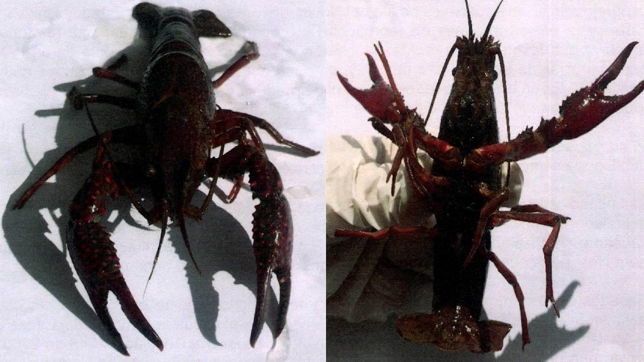 Foto Procambarus clarkii (Cangrejo o Langosta roja)